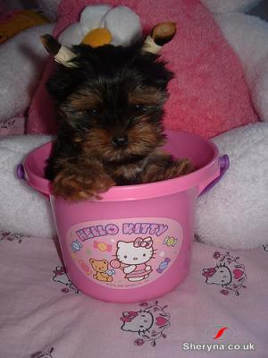 Two Wonderful Teacup Yorkie Puppies For Sale Pets For Sale