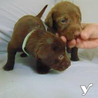 Amazing small Labrador Retriever Puppies | Other Community for sale
